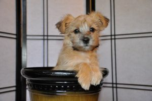 Morkie breeders photo