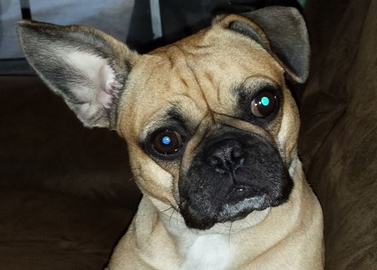 Frugs The Complete Owners Guide To The Frenchie Pug Breed Of Dog