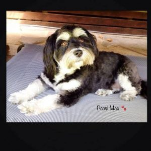 Pepsi Max The Havanese Dog
