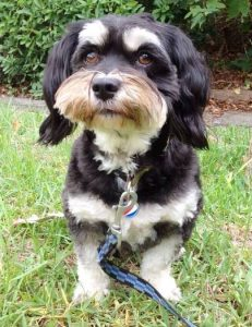 Pepsi Max The Havanese Dog2