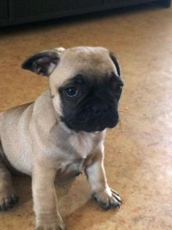 sota the Frenchie Pug