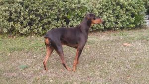 KeeLynn the Doberman