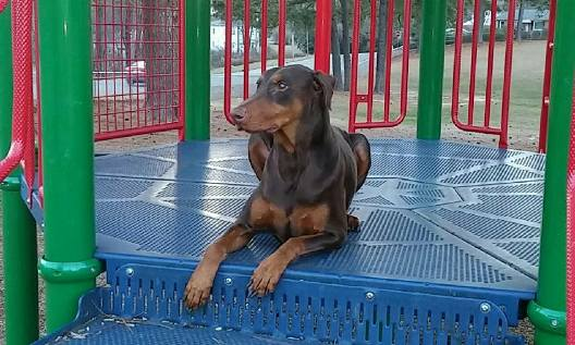 KeeLynn the Doberman 4