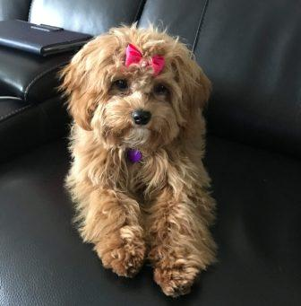 Lucy the Cavapoochon