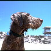 Weimardoodle dog at beach