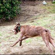 Weimardoodle dog