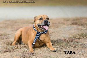Staffordshire Bull Terriers - Tara