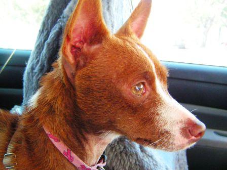 close up of Chigi dog