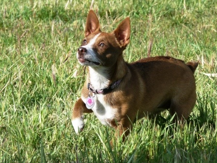 Chigi hybrid dog