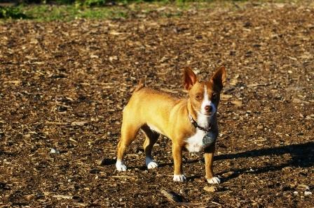 designer dogs - the Chigi