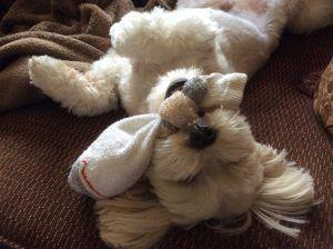 Shichon dog
