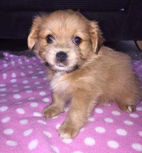 Shiranian puppy