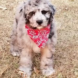 bernedoodle-dog